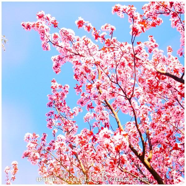 15 Melbourne Spring Blossoms Cherry Blossoms! Melbourne Snapshots