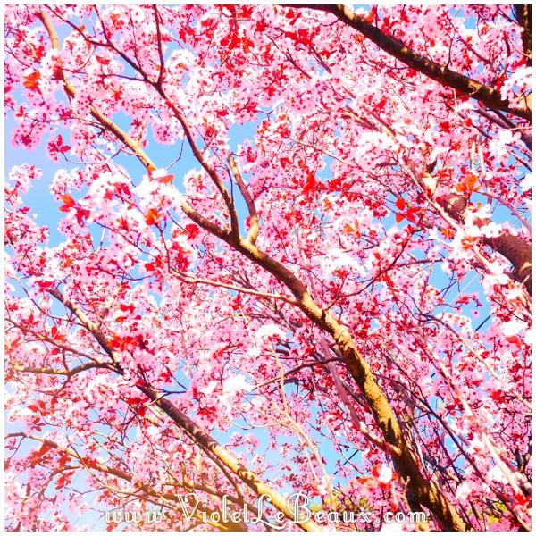 16 Melbourne Spring Blossoms Cherry Blossoms! Melbourne Snapshots