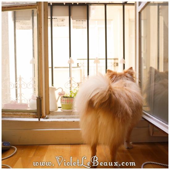 Cute-Pomeranian-Puppy40825