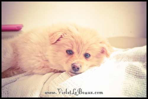 cute-pomeranian-puppy186