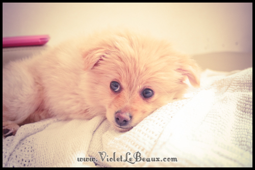 cute-pomeranian-puppy188