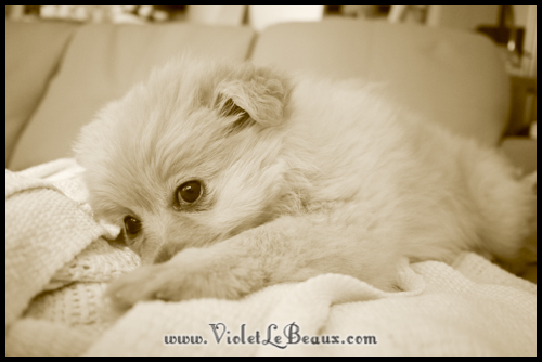 cute-pomeranian-puppy205