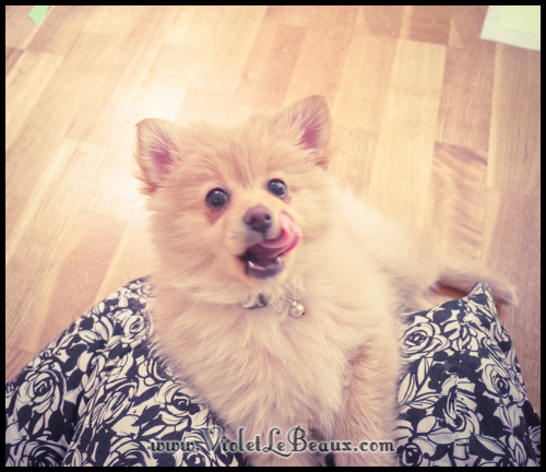 cute-pomeranian-puppy243
