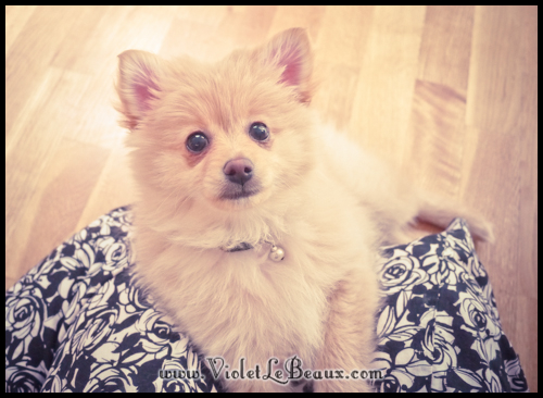 cute-pomeranian-puppy244