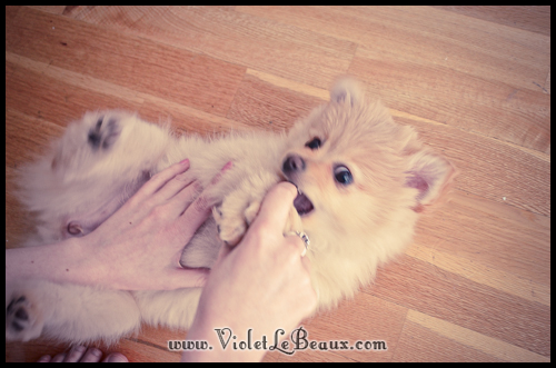cute-pomeranian-puppy2543