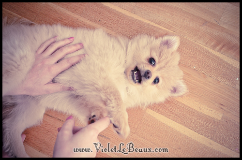 cute-pomeranian-puppy2546