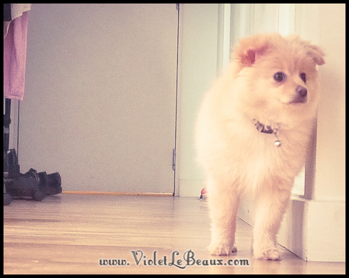 cute-pomeranian-puppy258