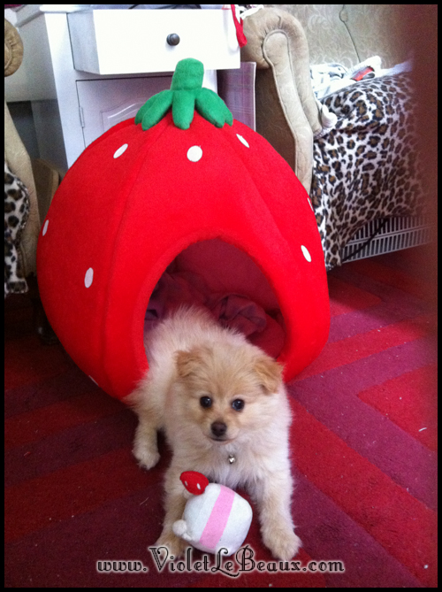 cute-pomeranian-puppy6812