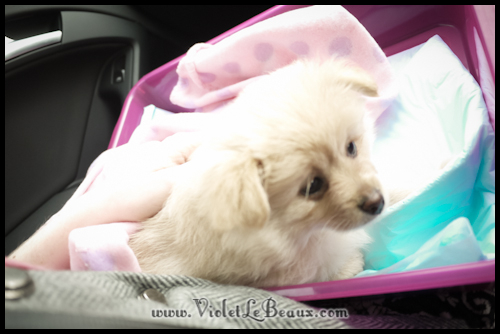 adorable-pomeranian-puppy-090898
