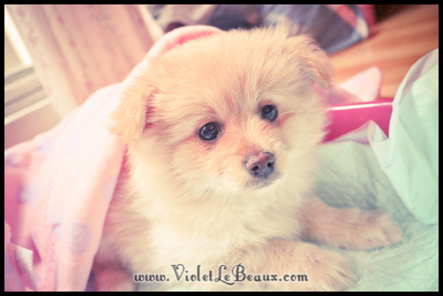 adorable-pomeranian-puppy-090901