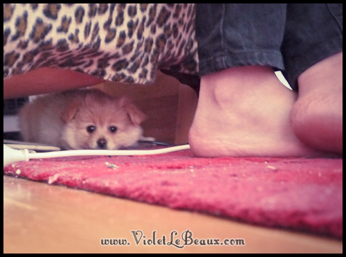adorable-pomeranian-puppy-090903