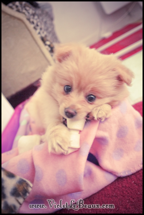 adorable-pomeranian-puppy-090940