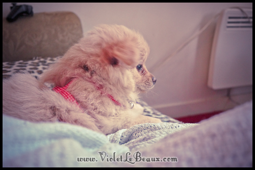 adorable-pomeranian-puppy-090974