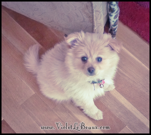 adorable-pomeranian-puppy-090975