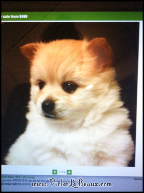 Cute-Pomeranian-Puppy503