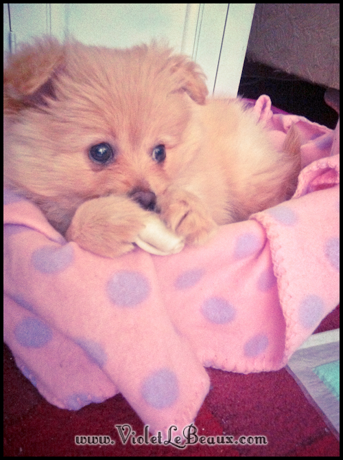 Cute-Pomeranian-Puppy623