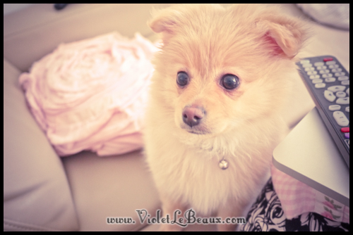 cute-pomeranian-puppy264