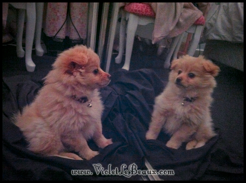 cute-pomeranian-puppy6926