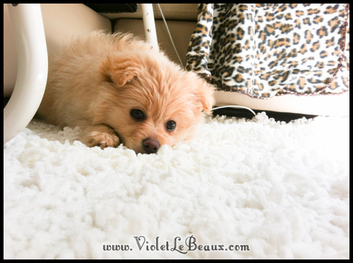 cute-pomeranian-puppy7180