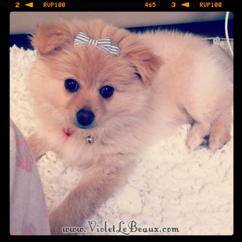 cute-pomeranian-puppy7204