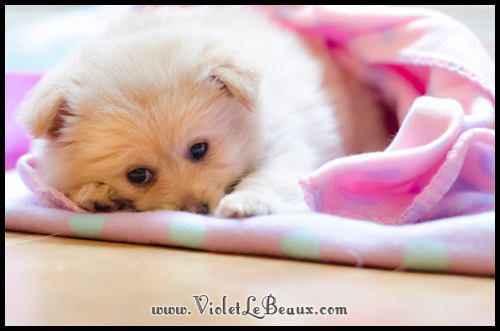 DSC_1623-cute-pomeranian-puppy