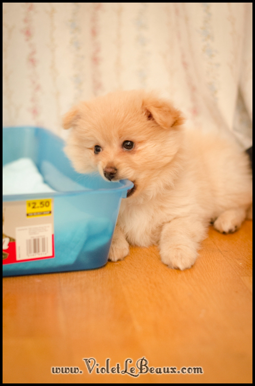 DSC_1692-cute-pomeranian-puppy