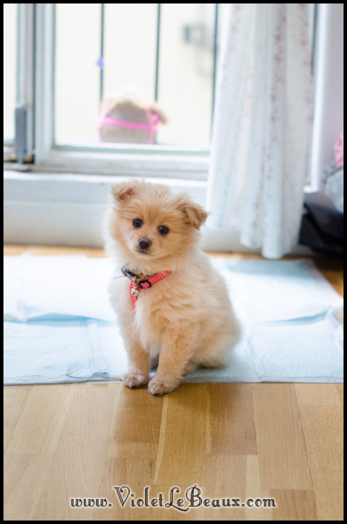 DSC_1722-cute-pomeranian-puppy