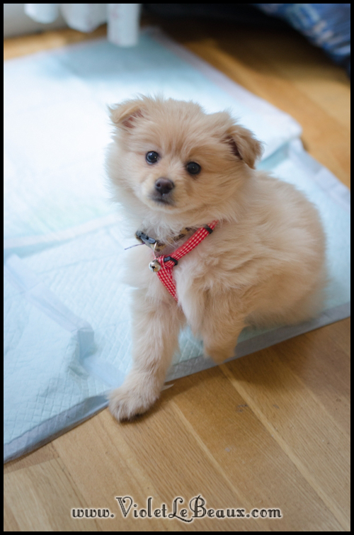 DSC_1727-cute-pomeranian-puppy
