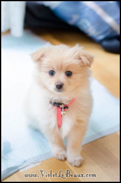 DSC_1739-cute-pomeranian-puppy