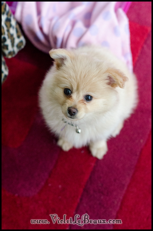 DSC_1748-cute-pomeranian-puppy
