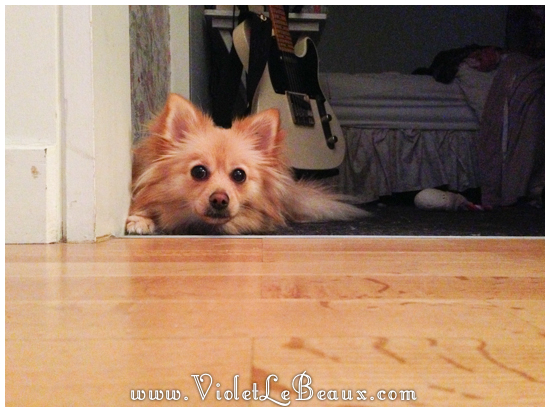 cute-1-year-old-pomeranian0012