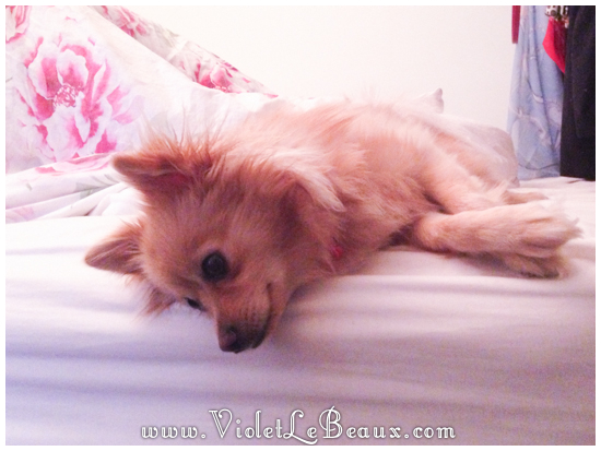 cute-1-year-old-pomeranian0069
