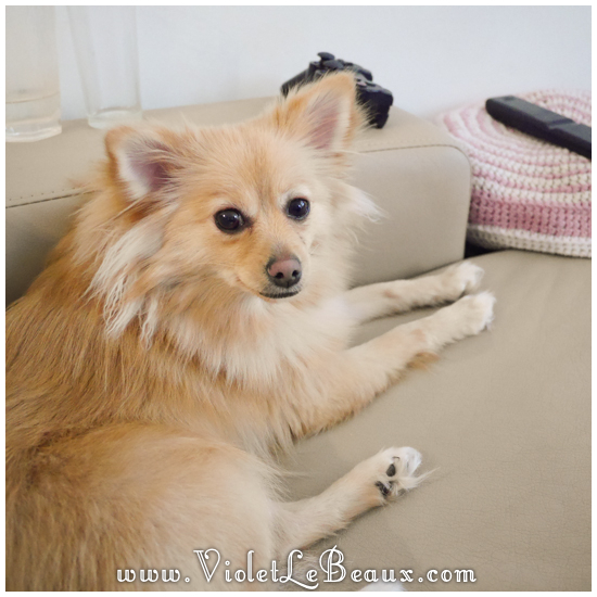 cute-1-year-old-pomeranian437