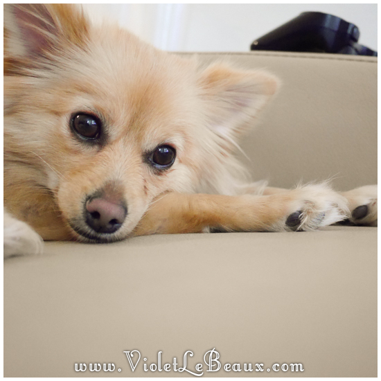 cute-1-year-old-pomeranian438