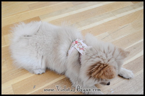 DIY-Pomeranian-Puppy-Harness94
