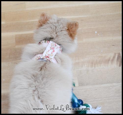 DIY-Pomeranian-Puppy-Harness96