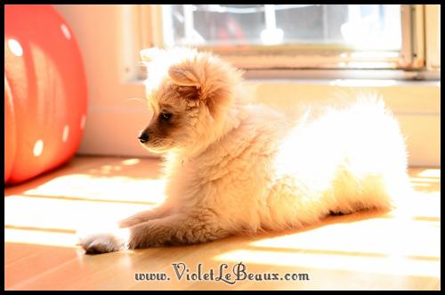 Cute-Pomeranian485