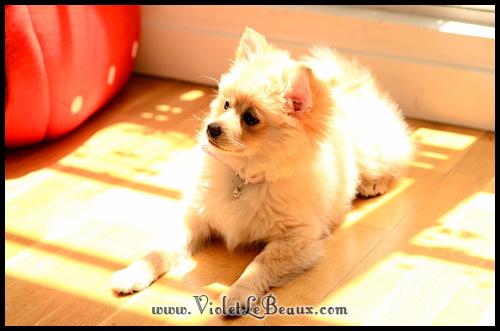 Cute-Pomeranian502