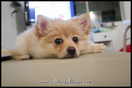 Cute-Pomeranian662