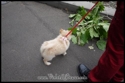 Cute-Pomeranian693