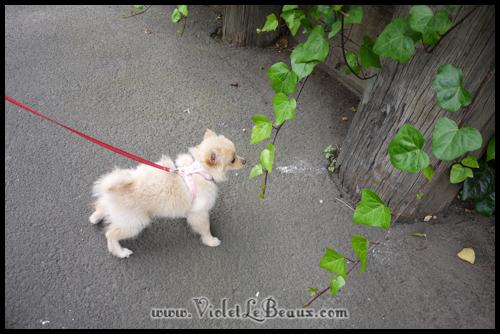 Cute-Pomeranian695