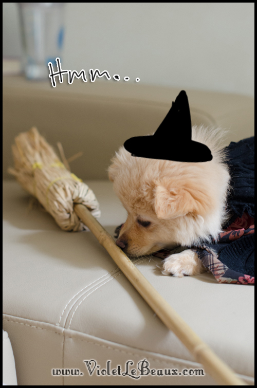 halloween pomeranian2641 Happy Halloween!