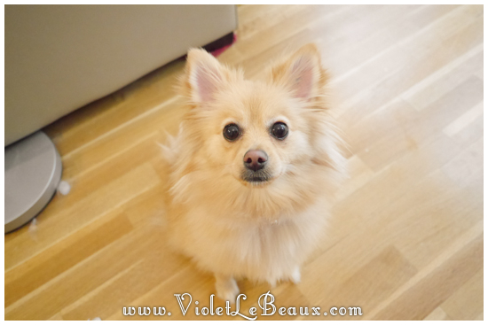 cute-1-year-old-pomeranian023